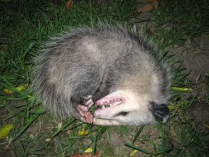 playing possum play dead