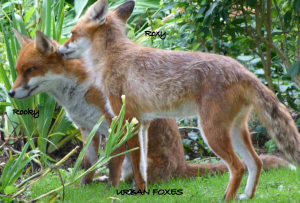 Ma and Pa Urban Fox (Roxy & Rocky) by Mark a/k/a Kram