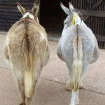 two asses
